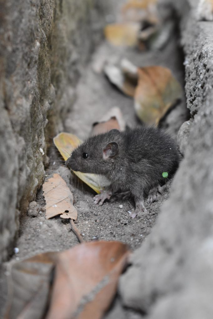 piéger les souris